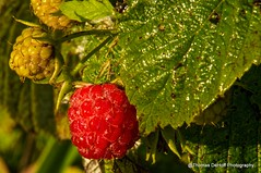 Yummy Red Raspberry (Thomas DeHoff) Tags: red raspberry sony a580