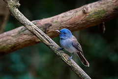 Black-naped Monarch (female) (arnewuensche66) Tags: blacknapedmonarch monarch birds animals wildlife fauna avifauna nature vgel schwarzgenickschnpper hypothymisazurea