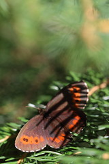 Shadow and Sun (jttoivonen) Tags: nature insect butterfly macro closeup spruce needles shadow bokeh outdoors