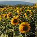 Sunflowers near Mainz-Finthen (Rheinhessen)