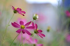 DSC_4161a (Fransois) Tags: morning flowers fleurs montréal bokeh softness mileend cosmos matin douceur flowerscolors platinumamazingdetails