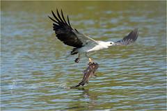 Heavy load, Take 3 (audiodam) Tags: sea white eagle australianbirds breasted whitebelliedseaeagle