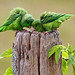 Green-rumped Parrotlets (Ann & Walter Burns)