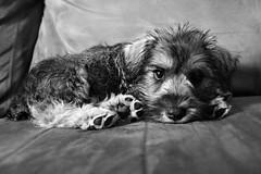 Lazy Marlee (Jamie-Owens) Tags: dog cute puppy miniature schnauzer