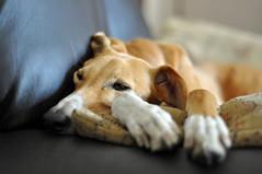 DSC_0005 - Fastest couch potato? - Explored (SWJuk) Tags: uk england greyhound home dogs 50mm nikon lancashire sofa ruby couchpotato 2012 saluki burnley d90 salukigreyhound myfreecopyright swjuk mygearandme mygearandmepremium sep2012 highqualitydogs