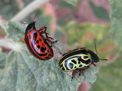 10.09.2012 (254/366) Red or Green? (Helen Orozco) Tags: beetle redorgreen calligraphaserpentina