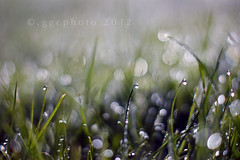 morning glory... (ggcphoto) Tags: grass 50mm bokeh dew waterdrops sonyalpha gettyimagesirelandq12012