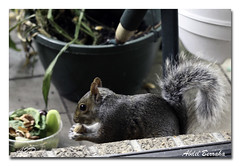 Squirrel 5 (berra2007) Tags: pet animal rodent squirrel greysquirrel babysquirrel squirrelpet