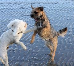 white playing beach dogs wet standing sand teeth bow button bichon frise ripples fighting snarling westwittering havingfun borderterrier blackandtan