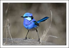 Who's a Splendid Fellow! (Ross_M) Tags: birds nikon australia queensland australianbirds d4 passeriformes malurussplendens splendidfairywren maluridae bowrastation