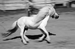 Taste the breeze (Michele Ginammi) Tags: italy horse white blackwhite italia blurred pony breeze panning brezza cavallo bianco biancoenero vento mosso mygearandme