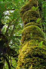 Maple at the Hall of Mosses - Hoh Rain Forest (RyanManuel) Tags: fern tree washington moss nikon focus hoh rainforest stack wa washingtonstate olympicnationalpark hallofmosses d800e