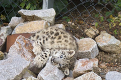 snow leopard cub (Cloudtail the Snow Leopard) Tags: zoo karlsruhe schneeleopard snowleopard irbis panthera uncia cat katze bigcat groskatze raubkatze jungtier kätzchen wurf kitten litter cub cloudtailthesnowleopard