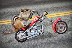 Born to Be Wild (Peggy Collins) Tags: red bike photoshop freedom chopper highway chipmunk motorcycle wildanimal biker openroad chipper chipmunks borntobewild lookingforadventure getoutonthehighway citrit peggycollins