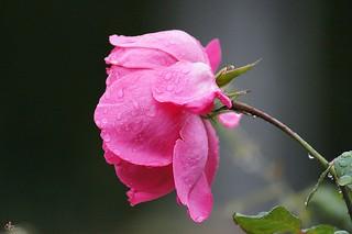 Rose rose sous la pluie 1