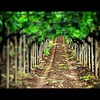 wine routes! (L▲iv ©) Tags: travel italy colors photo interestingness italia colours explore salento puglia apulia laiv impressedbeauty laivphoto pugliasalentoitaliavinograpesgreenstradadelvinolaivphotoexplore