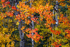 Forest Fire (Joe Ganster) Tags: autumn trees red orange color green fall nature colors leaves yellow alaska forest landscape fire us colorful natural ak joe changing aspens aspen quaking ganster