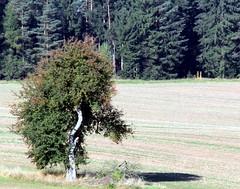 Mr. Poodle Tree has become Mr. Hedgehog! (:Linda:) Tags: tree germany village thuringia hedgehog linde limetree lindentree brnn similarto resembling hnlich lindenbaum