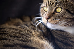 Portrait of Shetti / 200mm 2.8 (Merlijn Hoek) Tags: eye yellow cat eyes nikon kat katze poes kater bestofcats shetti