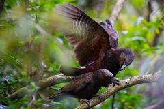 Kaka Mating 015 (NZ Exposed Photography by Chris Helliwell) Tags: newzealand bird canon wellington mating kaka zealandia 5d3