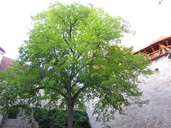 Burghausen / Interior Tree 9985 (Mr.J.Martin) Tags: carnival castle bayern bavaria austria gothic medieval fortification fortress middleages burghausen salzach burgfest salzachriver wittelsbachs burghausencastle