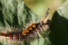 Furry Caterpillar #1 (unluckypixie) Tags: summer macro leave fur furry caterpillar spikey
