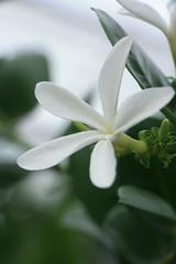 Tropenhaus 031012_49 (dieeule.ch) Tags: white plant flower macro green nature schweiz switzerland natur pflanze tropical ausflug grün blume makro tropisch tropenhaus wolhusen