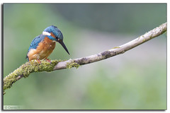 Martin pcheur (Alcedo atthis) (Denis.R) Tags: blue france bird nature animal animals canon observation wildlife lookout bleu kingfisher luxembourg animaux protection lorraine luxemburg oiseaux moselle alcedoatthis martinpcheur affut prservation afft billebaude denisr denisrebadj