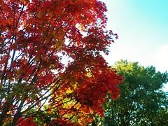 Autumn colors arrive next door (MissyPenny) Tags: autumn trees orange leaves buckscounty bristolpennsylvania pdlaich missypenny