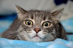 Dramatic eyes ! (Kataaku) Tags: cat cute big eyes wideeyed stares chat flin flins animals animales animaux animalia mamifre terresre mammal pet nikon d5200 reflex photo photographie animalire animalier caroline catenacci kataku kataaku cats chats kitten kat kiten kittens miaou meow filou mignon chasseur animal september