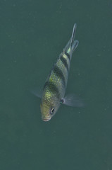 DSC09391 (andrewlorenzlong) Tags: fish swimming swim thailand snorkel snorkeling kohchang kohrang kohrangyai korangyai