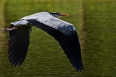 Airone Cenerino / Gray Heron (Massimo Equestre'pictures) Tags: airone cenerino gray heron natura nature uccelli birth