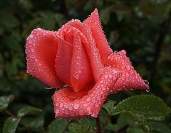 Anglų lietuvių žodynas. Žodis stem ginger reiškia kamieninių imbieras lietuviškai.