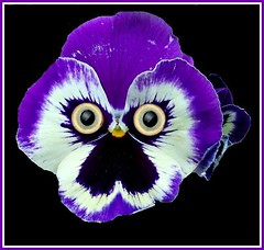 Angry Mr Pansy. (* Janets Photos*Site to slow to Comment) Tags: uk macro art purple pansy masterphotos artisticflowers takenwithlove mindigtopponalwaysontop lovelyflickr thegoldenachievement goldenachievement rememberthatmomentlevel1