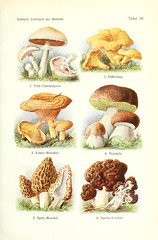 n484_w1150 (BioDivLibrary) Tags: botany morel champignon bolete falsemorel taxonomy:kingdom=fungi taxonomy:phylum=basidiomycota taxonomy:order=agaricales taxonomy:genus=boletus taxonomy:order=boletales taxonomy:family=boletaceae taxonomy:class=agaricomycetes taxonomy:phylum=ascomycota taxonomy:class=pezizomycetes taxonomy:order=pezizales taxonomy:family=helvellaceae taxonomy:family=agaricaceae taxonomy:family=russulaceae taxonomy:genus=agaricus taxonomy:binomial=agaricuscampestris taxonomy:common=fieldmushroom taxonomy:order=russulales taxonomy:genus=lactarius taxonomy:binomial=gyromitraesculenta taxonomy:genus=gyromitra taxonomy:binomial=cantharelluscibarius taxonomy:order=cantharellales taxonomy:family=cantharellaceae taxonomy:genus=cantharellus taxonomy:common=chanterelle taxonomy:genus=morchella taxonomy:binomial=lactariusdeliciosus taxonomy:binomial=boletusedulis taxonomy:family=morchellaceae taxonomy:binomial=morchellaelata gersteinuniversityoftorontoarchiveorg bhl:page=22538244 dc:identifier=httpbiodiversitylibraryorgpage22538244 taxonomy:common=wiesenchampignon taxonomy:common=camperol taxonomy:common=meadowmushroom taxonomy:common=champindeprado taxonomy:common=fungodoslameiros taxonomy:common=lagaricchamptre taxonomy:common=rosdesprs taxonomy:common=peurka taxonomy:common= taxonomy:common=gewoneweidechampignon taxonomy:common=pieczarkapolna taxonomy:common=travnikikukmak taxonomy:common=bontchampion taxonomy:common=echterpfifferling taxonomy:common=girolle taxonomy:common=kurka taxonomy:common=kantarell taxonomy:common= taxonomy:common=edelreizker taxonomy:common=saffronmilkcap taxonomy:common=redpinemushroom taxonomy:common=lactairedlicieux taxonomy:common=oranjegroenemelkzwam taxonomy:common=spitzmorchel taxonomy:common=frhjahrsgiftlorchel taxonomy:common=boletdegreix taxonomy:common=falsemorels taxonomy:common=falsacolmenilla taxonomy:common=gyromitre taxonomy:common=faussemorille taxonomy:common=nurmiherkkusieni taxonomy:common=gemeinersteinpilz taxonomy:common=cep taxonomy:common=pennybun taxonomy:common=porcino taxonomy:common=blackmorel taxonomy:common=morilleleve