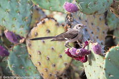 Northern Mockingbird (Kukui Photography) Tags: 2 mile trail canyon ranch northern mockingbird arizona bird tucson 2miletrail canyonranch northernmockingbird
