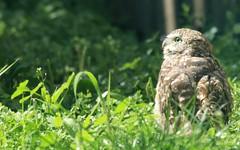 Burrowing Owl (Leslie Abram) Tags: burrowingowl owl saskatchewan canada