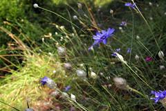 A bord du chemin  promenade des hauteurs de Saorge, Alpes-Maritimes, aot 2016 (Stphane Bily) Tags: stphanebily alpesmaritimes flowers fleurs