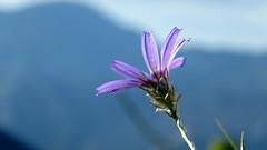 Catananche dans le ciel bleu.. (bernard.bonifassi) Tags: bb088 06 alpesmaritimes 2016 thiery counteadenissa fleur catananchebleue