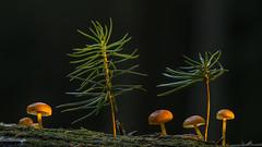 Jungspunde # 2 (PanoramaRundblick) Tags: stockschwmmchen pilze waldboden makro heliconfocus nahaufnahme