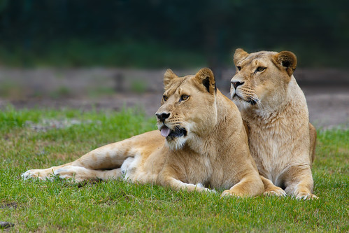 Attentive lion ladies...