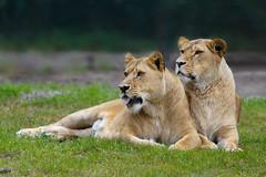 Attentive lion ladies... (Harald Schnitzler) Tags: cat female hodenhagen lion lions pride rudel serengeti tierpark wildcat wildlife zoo löwe löwin löwinnen team