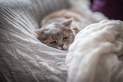 366 Vardagar 225 / 366 Everydays 225 (Perzec) Tags: 366everydays 366vardagar cat grumpy melancholic melancholy old sad sleep sleeping sleepy