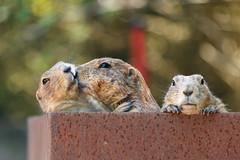 Infidelity (GeraldGrote) Tags: infedelity hannover zoo animals tiere prairiedog seitensprung niedersachsen germany de