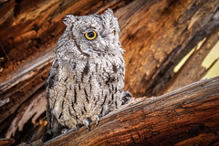 Screech Owl (BernieErnieJr) Tags: screechowl bird birdsofprey colorado wildlife raptor sony70400mmg2 sonya77mkii hawkquest franktown douglascounty perrycanyonranch frontrange greatphotographers teamsony rockymountains