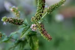 Synchlora aerata larva (severalsnakes) Tags: ks2 missouri pentax raynox250 saraspaedy sedalia tamron287528xrdi bug camouflagedlooper caterpillar insect macro synchloraaerata wavylinedemeraldmoth worm