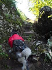 Climbing the Trail (Devthor) Tags: sht superiorhikingtrail malamute lilu dog backpacking outdoor north shore lake superior minnesota hiking