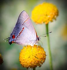 """Silver and Gold""   Gray Hairstreak ( Strymon melinus) (Cathy Lorraine) Tags: grayhairstreak butterfly strymonmelinus quailhill irvine california flowers outdoors nature ngc coth5 npc sunrays5"