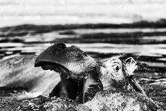 Go crazy? (kceuppens) Tags: nijlpaard animal zoo door hippo zoovanantwerpen antwerpen antwerp blackandwhite bw black white zw zwart wit zwartwit nikond700 nikon d700 hippopotamus nikkor nikkor80400afs captive gevangenschap