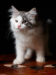 So Young (rampx) Tags: cat neko norwegianforestcat niko miaw black background studio lighting ねこ 猫 pentax 645z